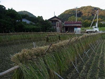 もち米稲架掛け