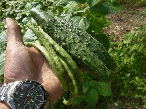胡瓜インゲン初収穫