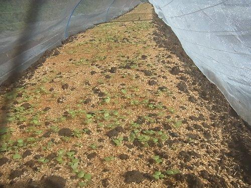苗床で冬野菜発芽