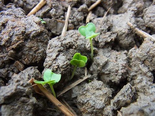 菜花など発芽