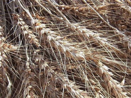 麦秋 小麦脱穀