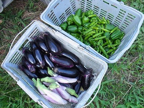 茄子、薄紫茄子、ピーマン、シシトウなど