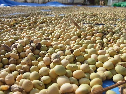 大豆乾燥中