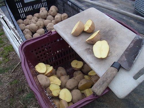 種イモ切り ジャガイモ植え付け