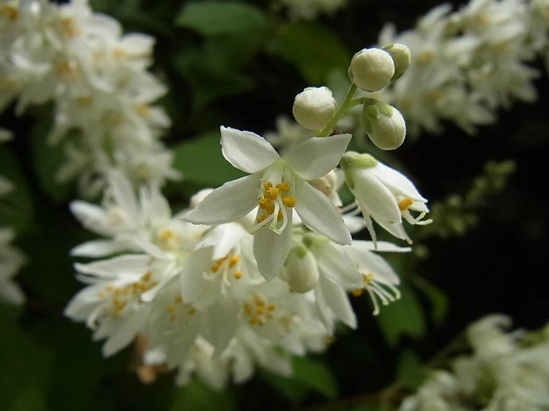 空木 卯の花