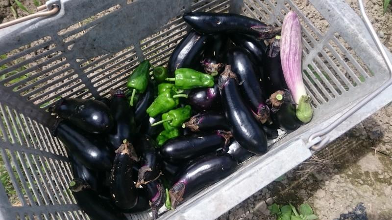茄子、ピーマンなどなど 初収穫