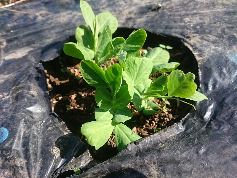 春の豆たち