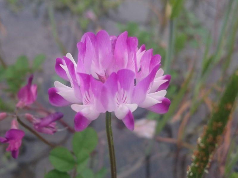 レンゲの花