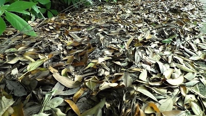 マテバシイノ落ち葉