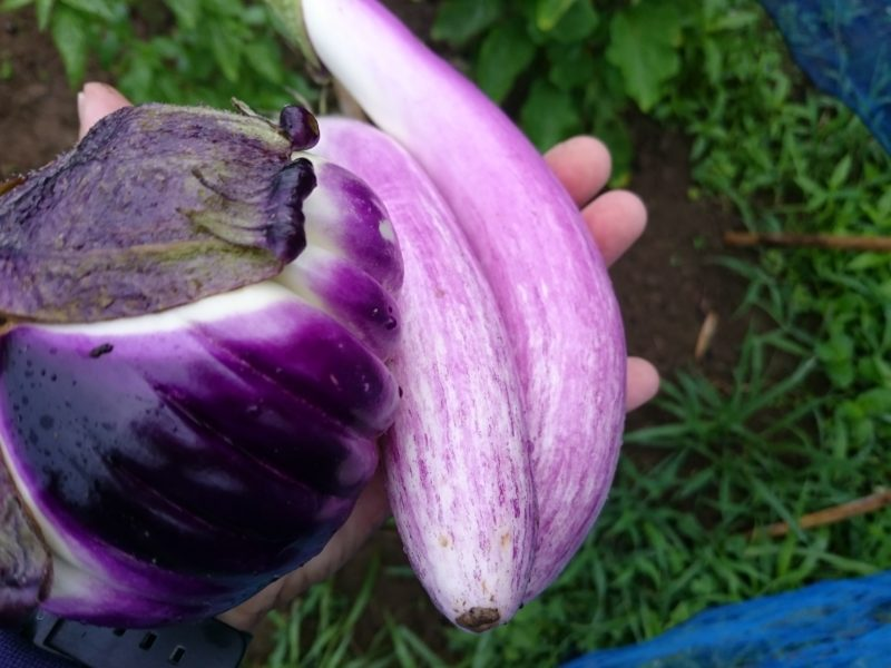 フローレンスパープル 薄紫茄子