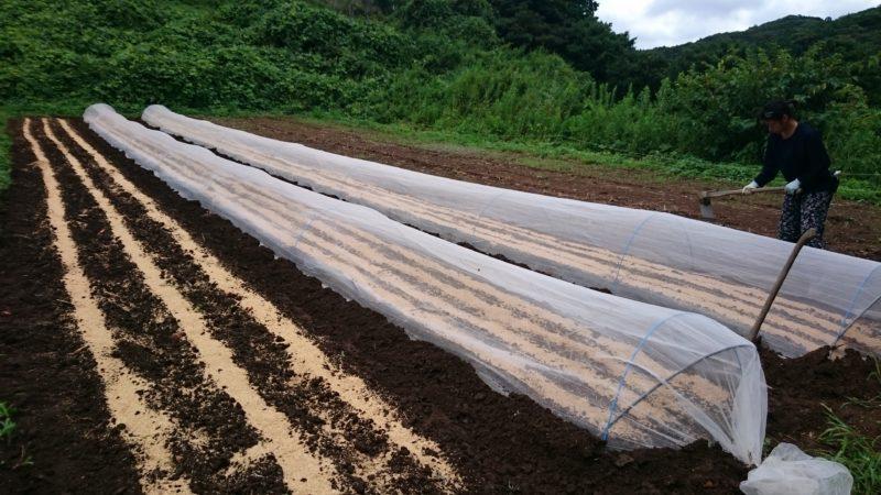 大根、赤大根、菜っ葉類いろいろ播種