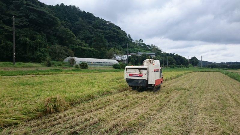 雨間の稲刈り(>_