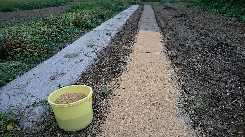 玉葱の苗床 覆土はもみ殻です