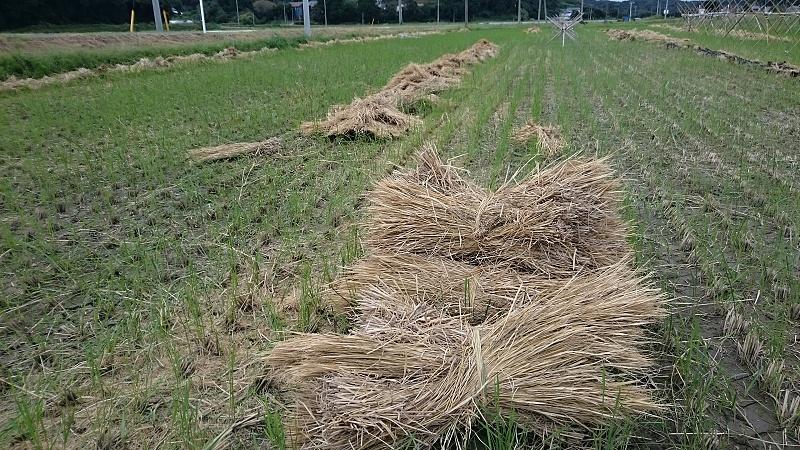 脱穀の終わった稲わら まるって集めます