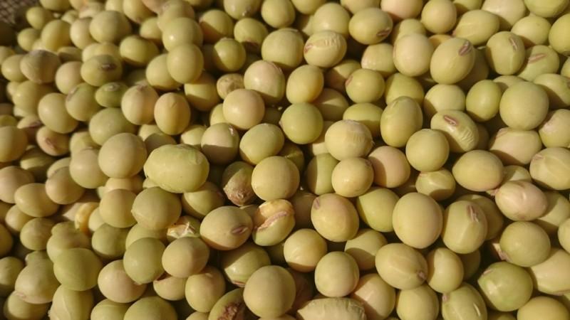 味噌用の大豆