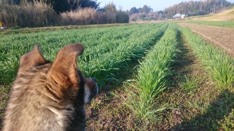 小麦畑とクック
