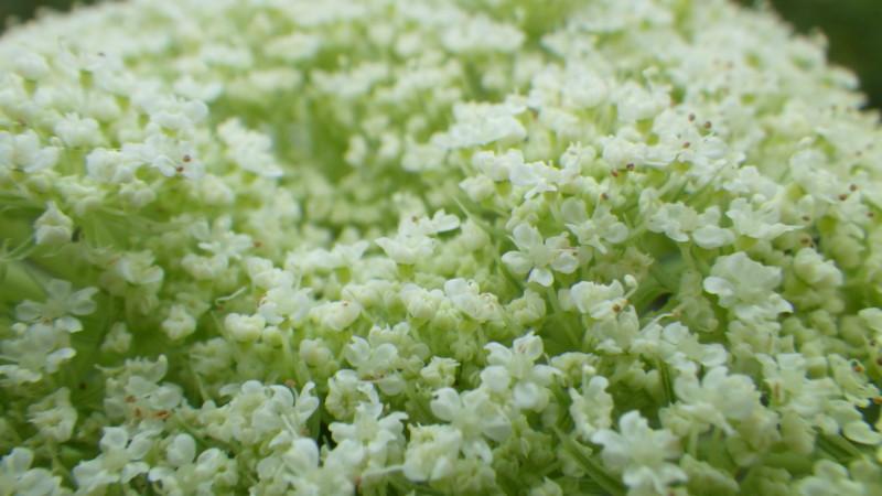 人参の花 セリ科