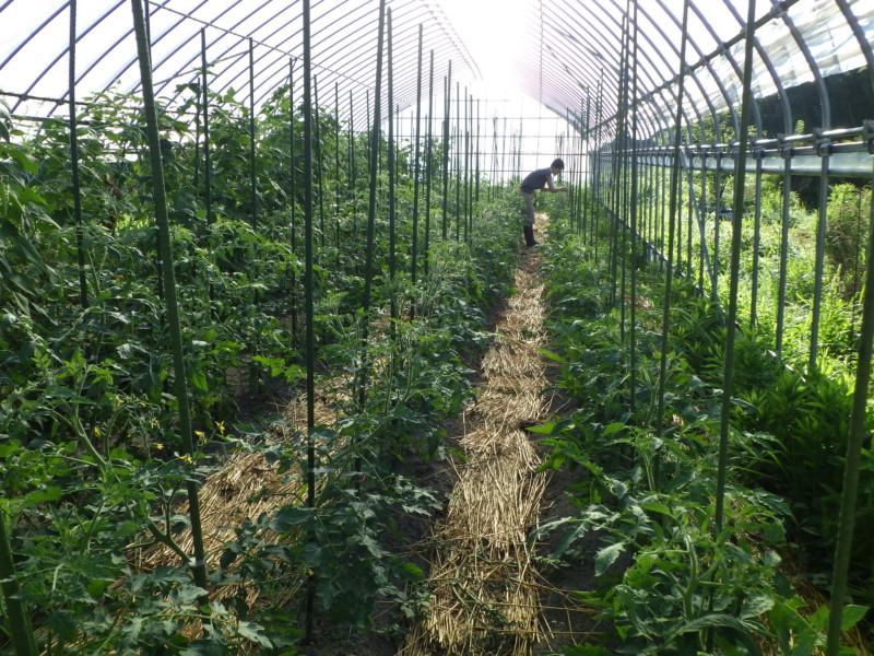 ハウス内トマト管理作業
