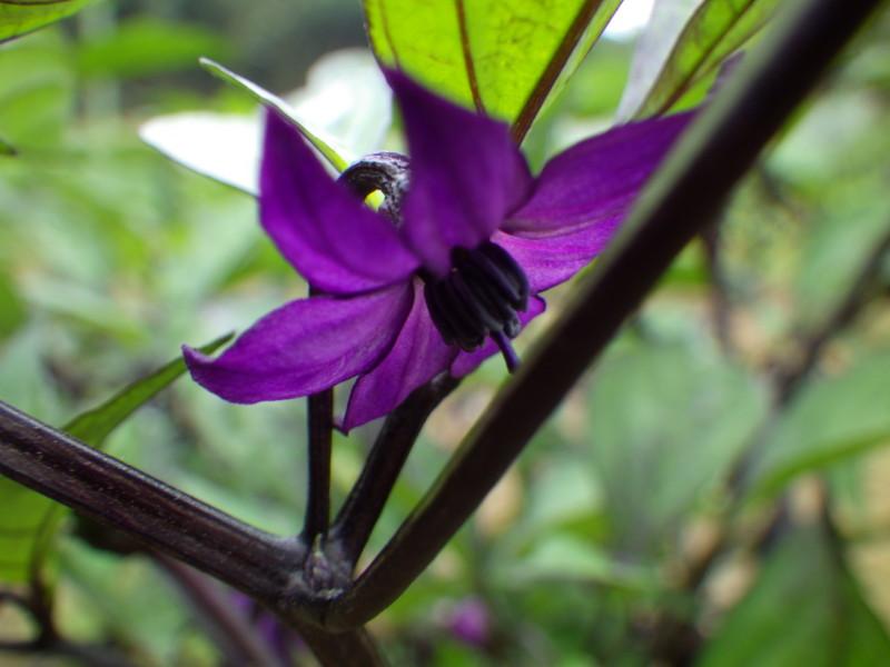 紫唐辛子の花