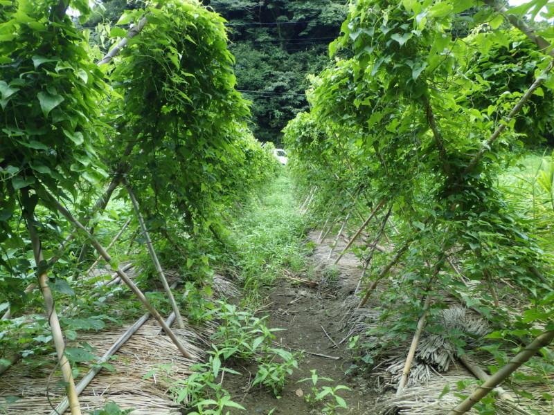 大和芋の畑