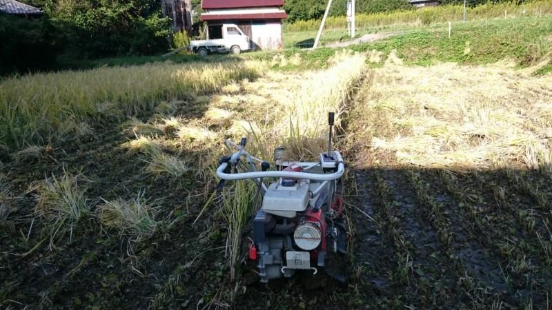 もち米稲刈り