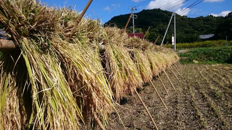 もち米はざかけ天日干し