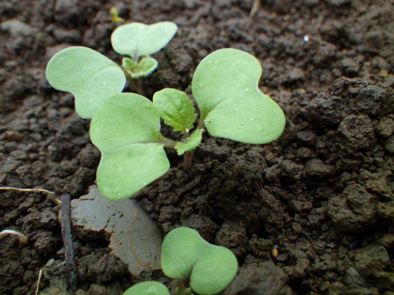 チンゲンサイの発芽