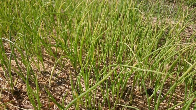 苗床の玉葱苗