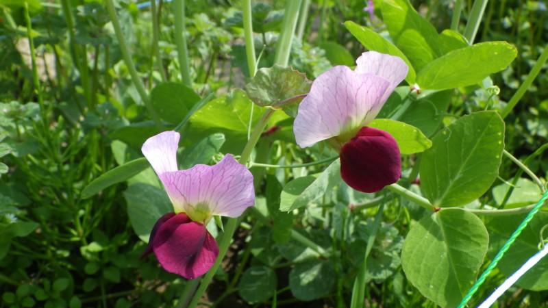 サヤエンドウの花