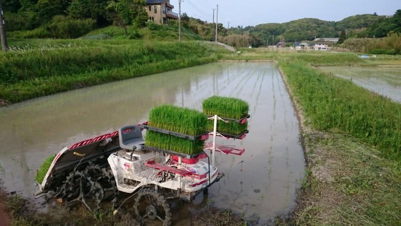 赤米の田植え