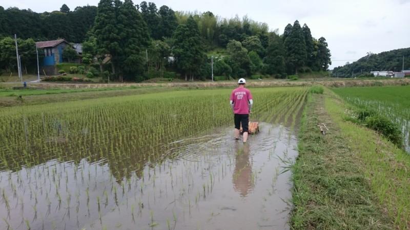 動力除草機で田の草取り