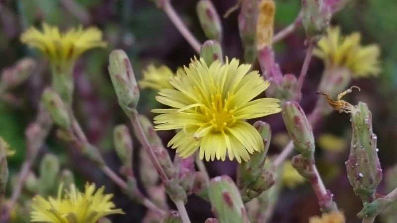 レタスの花 キク科