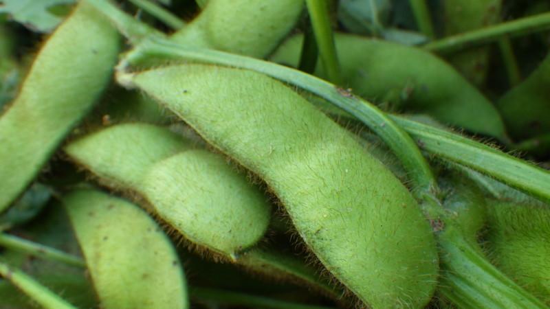 10月下旬が旬の枝豆
