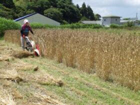 バインダーで麦刈り