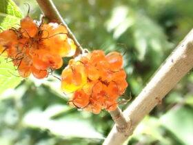 キイチゴ バラ科