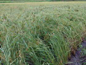 台風の影響で傾ぐ稲