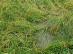 水が抜けず乾かない田んぼ