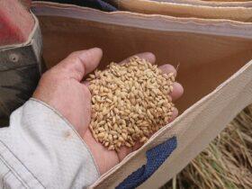ツキミモチ 籾