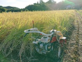 旭 バインダーで稲刈り